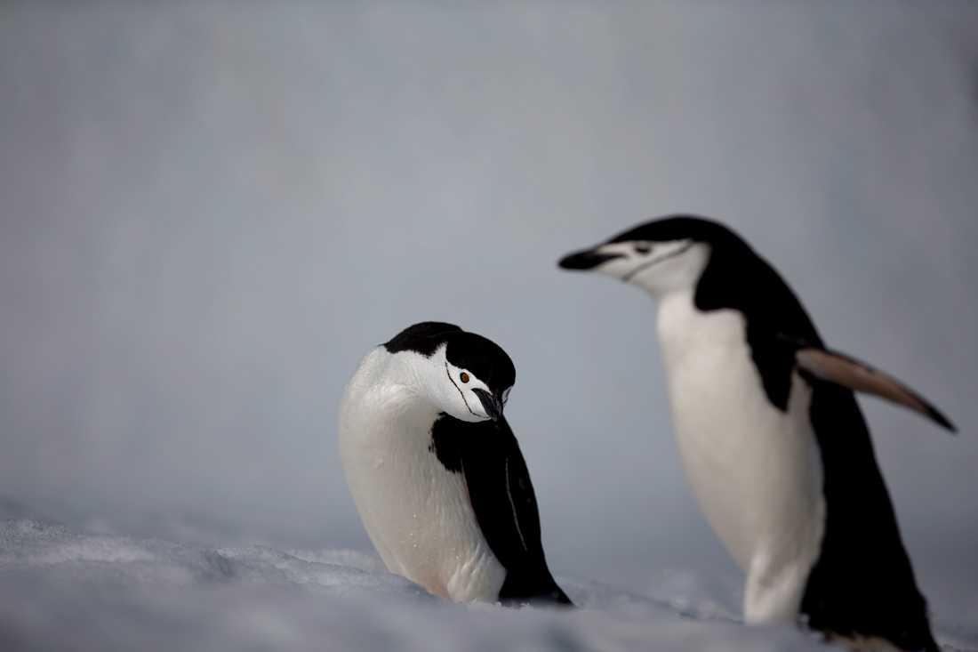 Forskare tror att klimatförändringar ligger bakom minskiningen av hakremspingviner i Antarktis. Arkivbild.