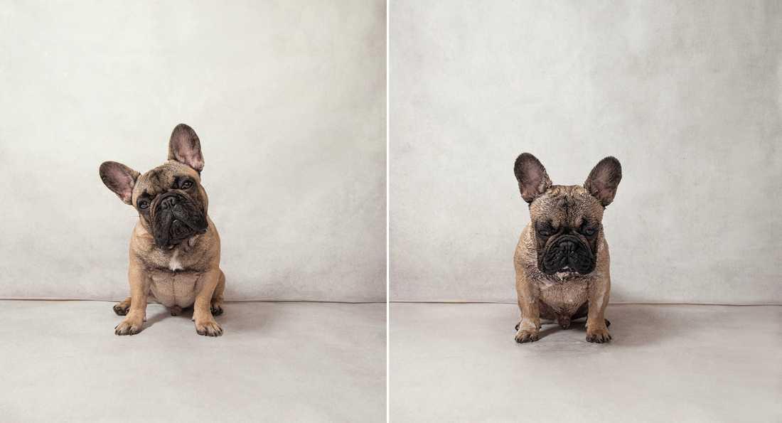 Garfunkel – French Bulldog