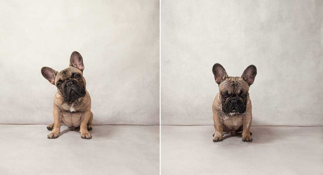 Garfunkel – French Bulldog