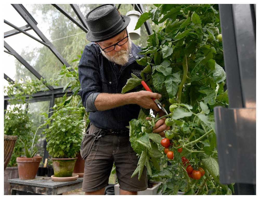 Klipp bort blad så att ljuset når tomaterna.