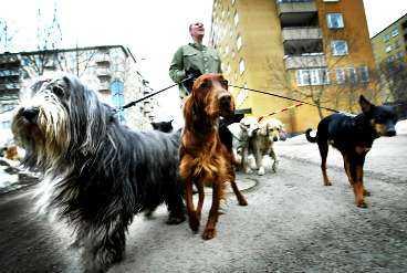 MÄNNISKAN ÄR LEDARHUNDEN Två gånger om dagen ska hundarna rastas. Elaine Ängsberg på Hornstulls hunddagis har inga svårigheter med att hålla reda på åtta koppel. Hundar är flockdjur och det är hon som bestämmer.