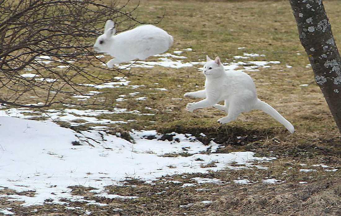 Sugen på påskgodis När Roger Ersberg, 50, såg sin katt sitta och smyga på en snövit hare sprang han in och hämtade kameran för att vara beredd när attacken skulle ske.