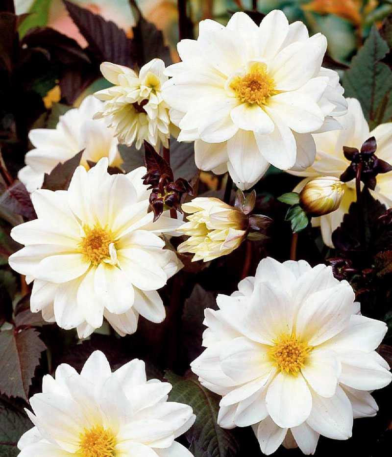 Classic Swanlake. Jag är svag för det där mörka bladverket och tillsammans med de här vackert vita blommorna blir det helt oemotståndligt. www.nelson.se