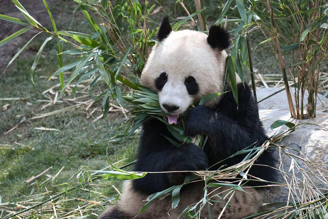Pandan Xing Er på Zoo i Köpenhamn lyckades klämma sig under en eltråd och rymma på måndagsmorgonen. Arkivbild.