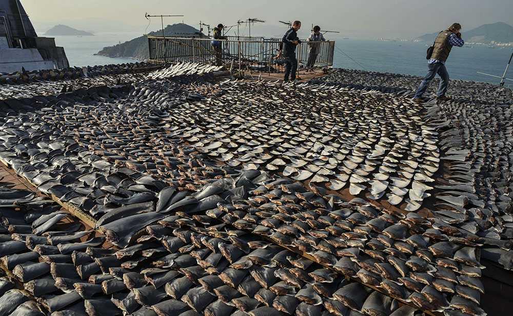 Tusentals hajfenor på taket till en fabrik i Hong Kong. Landets regering beslutade på fredagen att man kommer att sluta servera hajfena vid officiella sammanhang. Beslutet kommer till följd av årslånga protester från motståndsgrupper i landet.