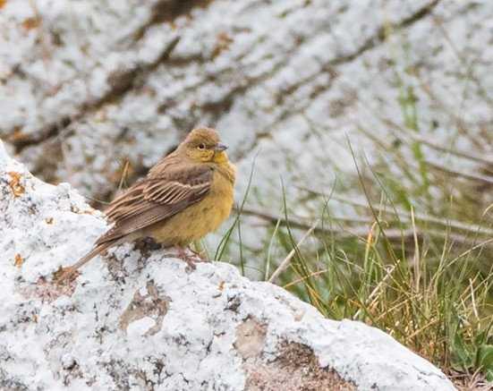 Den gulgrå sparven vid Hoburgen fångades på bild av fågelfotografen Fredrik Anmark på fredagsförmiddagen.