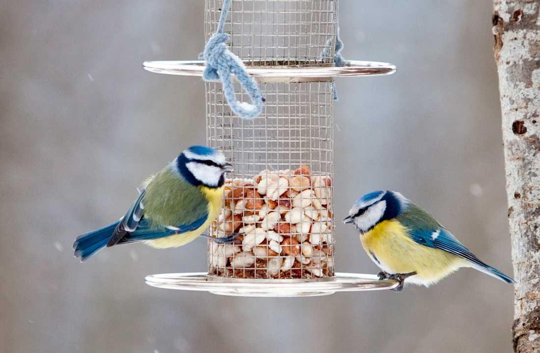 Två blåmesar på ett fågelbord. Blåmesen var den näst vanligaste vinterfågeln vid fågelräkningen i januari 2018. Arkivbild.