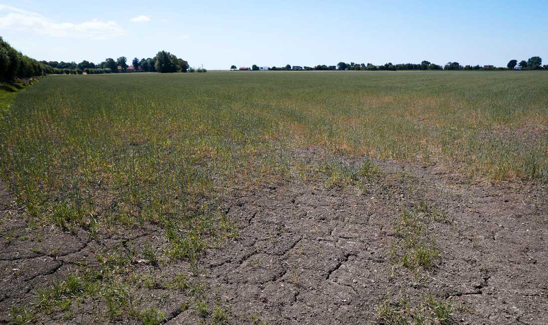 Sommarens torka ledde till den minsta svenska spannmålsskörden sedan 1959, utbredd foderbrist och nödslaktning. Arkivbild.