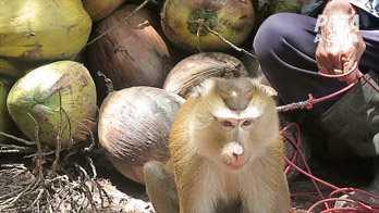 Om aporna gör motstånd när de tvingas plocka kokosnötter har det hänt att tänderna dras ut på dem, enligt Peta.