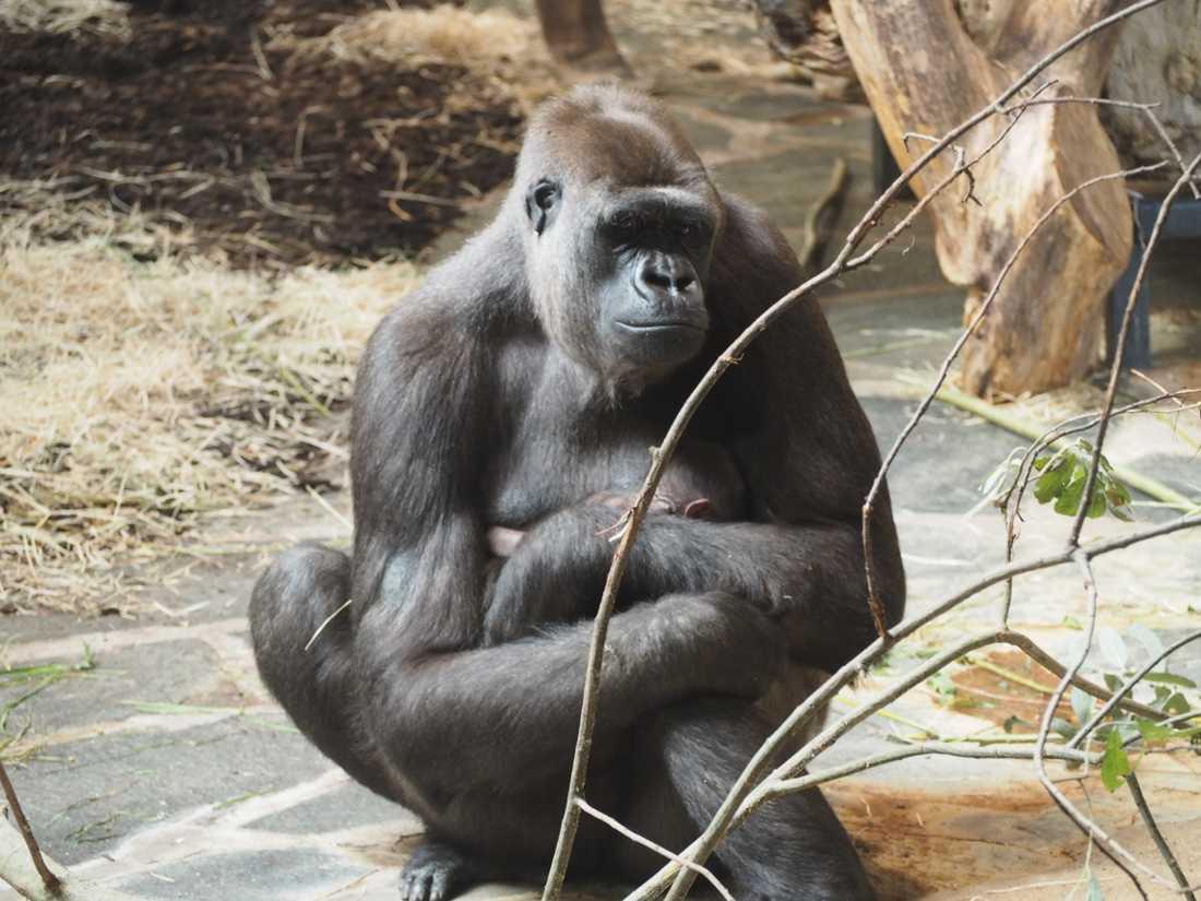Mamma Kiburi tog snabbt till sig ungen som kom i gång med diandet.