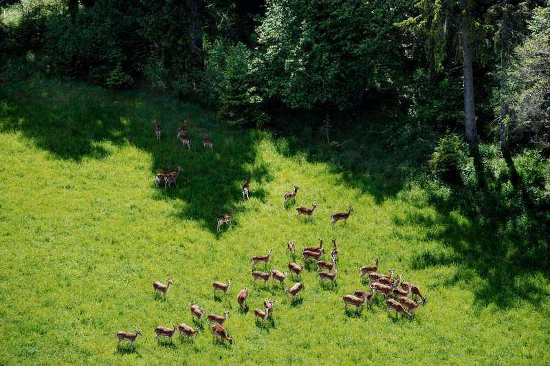 FÅR MYCKET HJORT Jaktmarkerna på ön ska vara helt perfekta med ett stort bestånd av hjort.