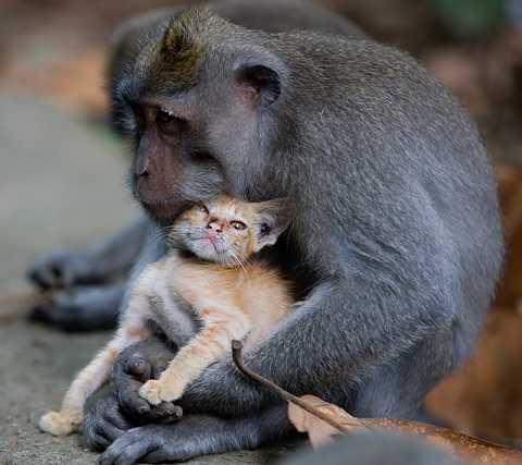 riktiga APEKATTER Makakhannen fick av allt att döma faderskänslor för den lilla kattungen när deras stigar korsades i skogen.