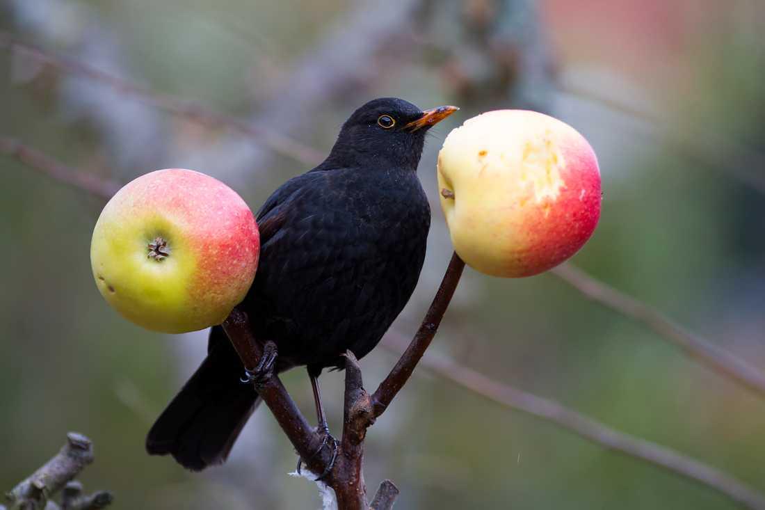 Koltrasten äter frön och nötter men likt sidensvansen föredrar den äpplen. Arkivbild.