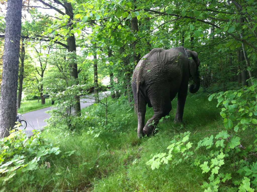 En elefant promenerar i grönskan