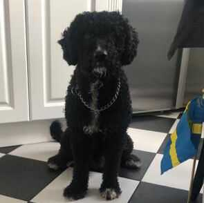 Vattenhunden Hugo är stulen.
