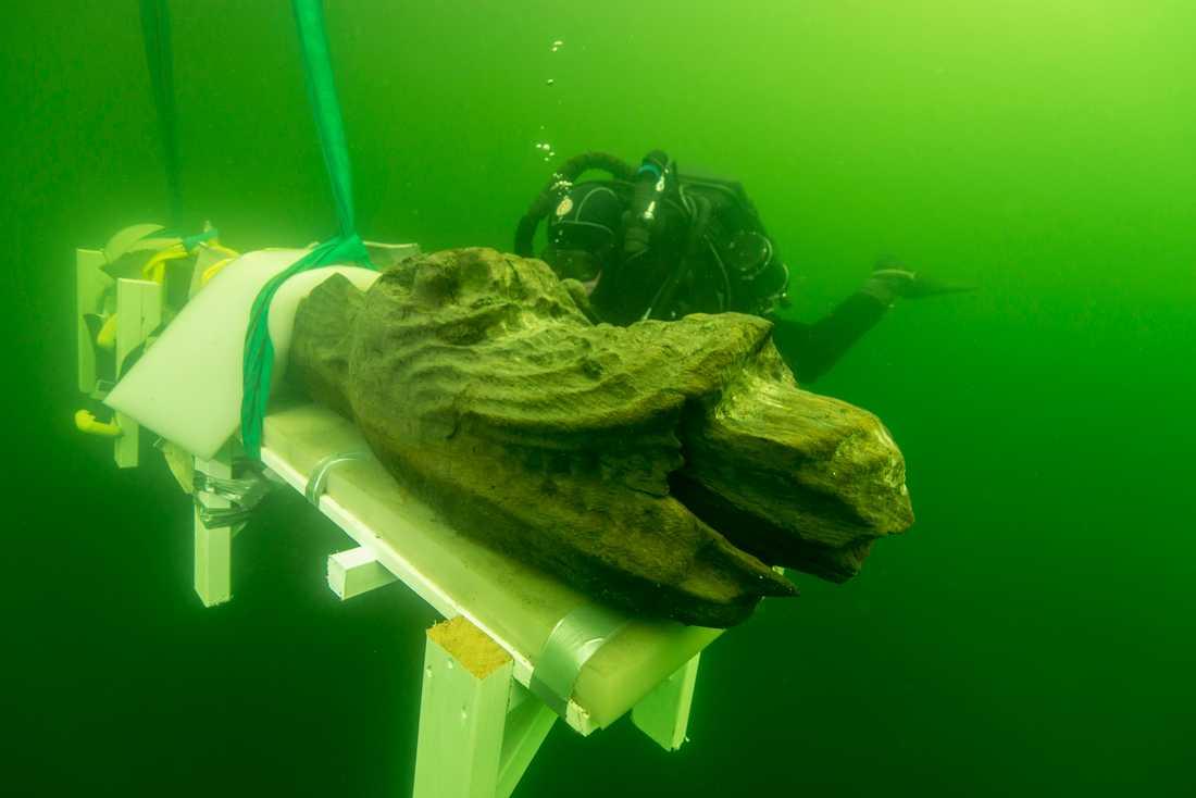 Skeppet Gribshundens stävfigur som bärgades i augusti 2015. Nya utgrävningar av 1400-talsfartyget har lockat många forskare till Ronneby. Arkivbild.