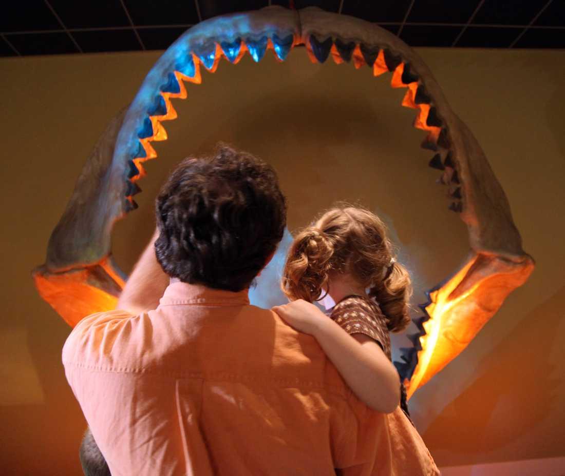 Megalodons gap var större än vithajens. Här på Museum of Nature and Science i Dallas. Arkivbild.