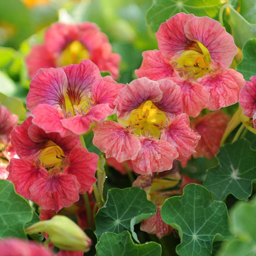 "Buskkrasse ""Ladybird Rose"""
