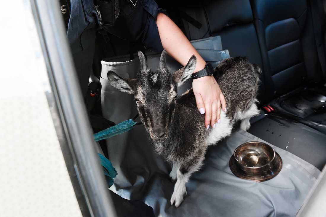Polisen räddade en get ur en varm bil som stod parkerad vid Skanstull.