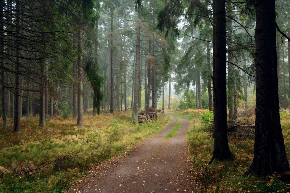 Skogsägare uppmanas att inventera sina granbestånd. På flera håll i södra Sverige är angreppen av granbarkborre ovanligt omfattande. Arkivbild.