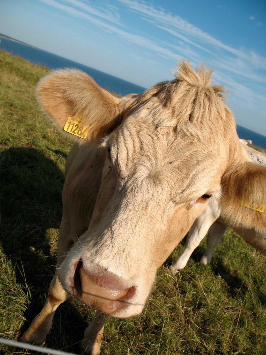 Arkivbild på ko.