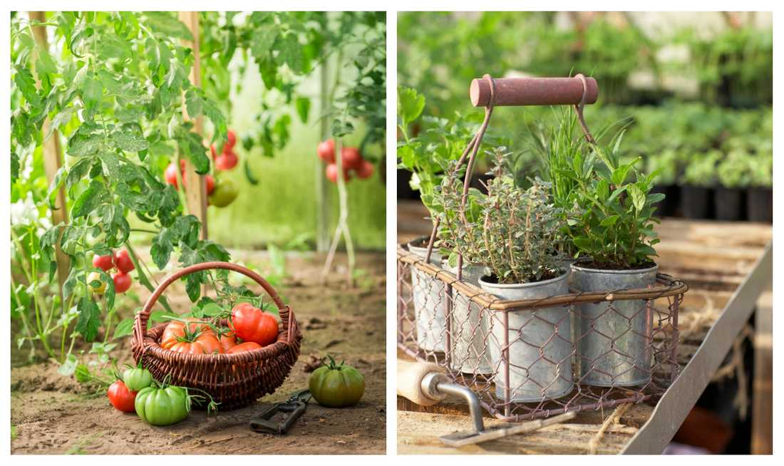 Egenodlade solvarma tomater och färska kryddor sätter guldkant. Här är årets nyheter för dig som funderar på att köpa växthus.