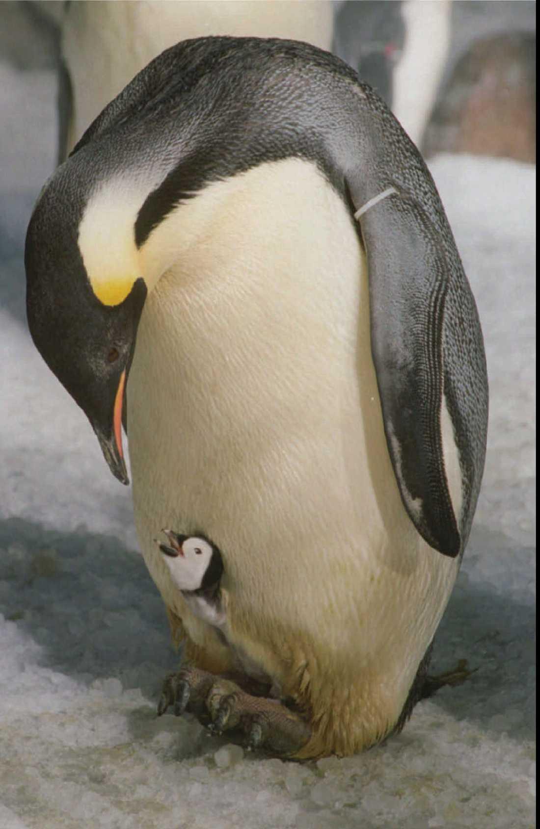 Kejsarpingvinen är världens största pingvin, men är mycket hotad av klimatförändringar. Arkivbild.