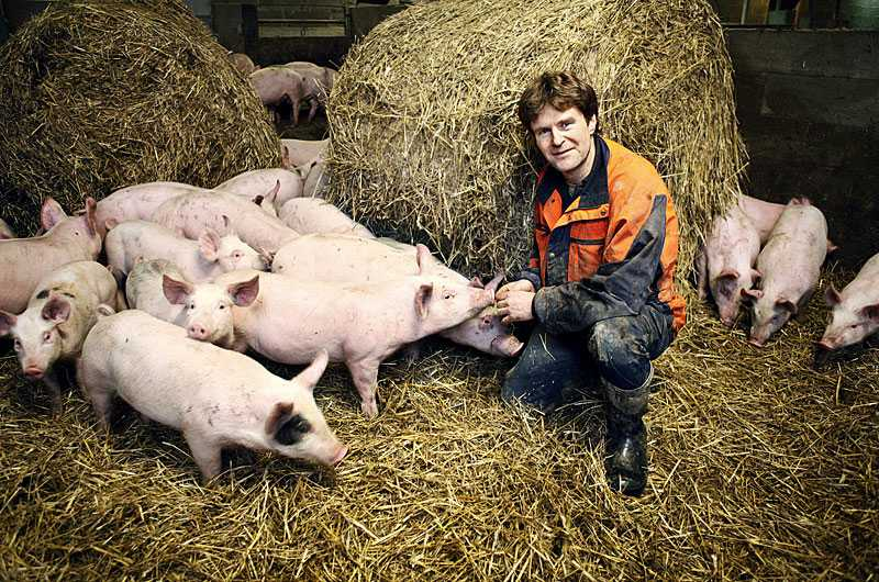 grymt bra Bara en procent av alla grisuppfödning i Sverige är ekologisk. Hos Olle Linders i Knivsta har grisarna gott om utrymme och får gå fritt året runt.