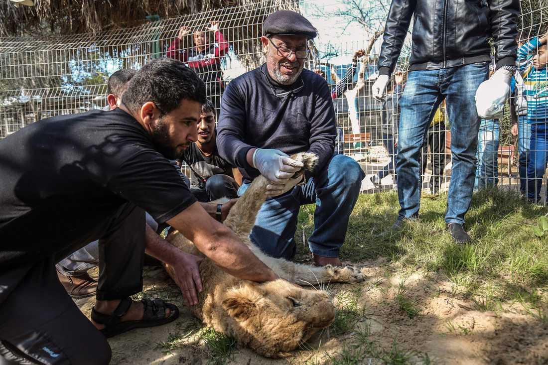 Veterinären Fayyaz al-Haddad håller i tassen på lejonet Falestines efter att hennes klor avlägsnats.