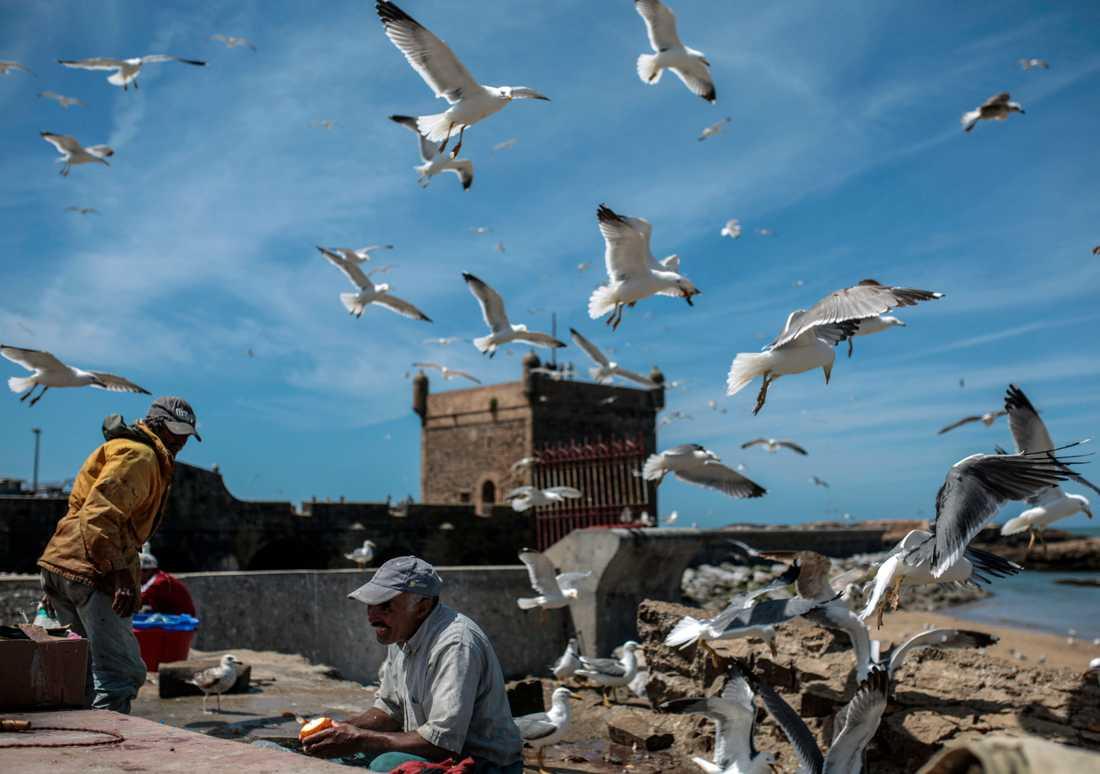 FIskmåsar cirklar över fiskare i Essaouira i Marocko. Arkivfoto.