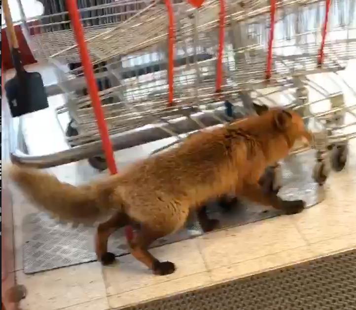 Räven kom in i butiken och bet en kund i foten.