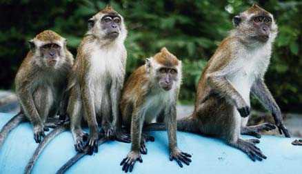 På Langkawi finns det gott om apor. Många befolkar hotellanläggningarna. Orädda och fräcka dyker de upp varhelst det vankas något att äta.