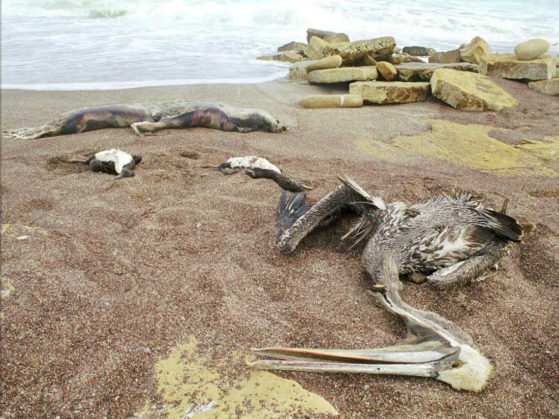 El Niño brukar leda till att havstemperaturerna vid Sydamerikas västkust stiger. Resultatet blir svält bland havslevande fåglar och däggdjur. Bilden, som är tagen i januari 1998, visar döda pelikaner och sjölejon som flutit iland i Peru.