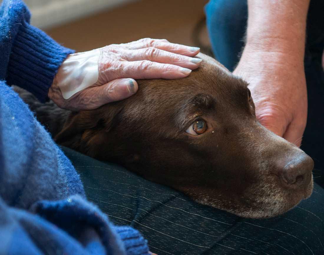 Terapihunden Bruna trivs med att ha huvudet i knät på Gertrud.