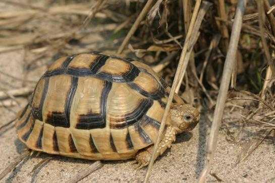 Egyptisk landsköldpadda är en av världens mest utrotningshotade sköldpaddor.