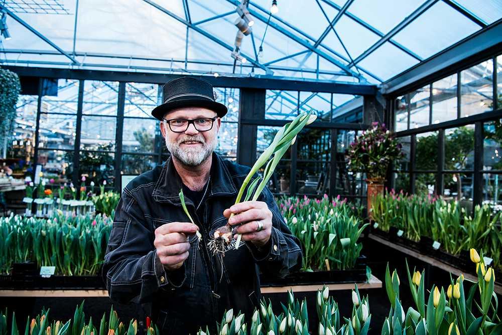 Boose Rappne plockar tulpanen inklusive löken som bildat en sidolök. Den går att plantera i vår.