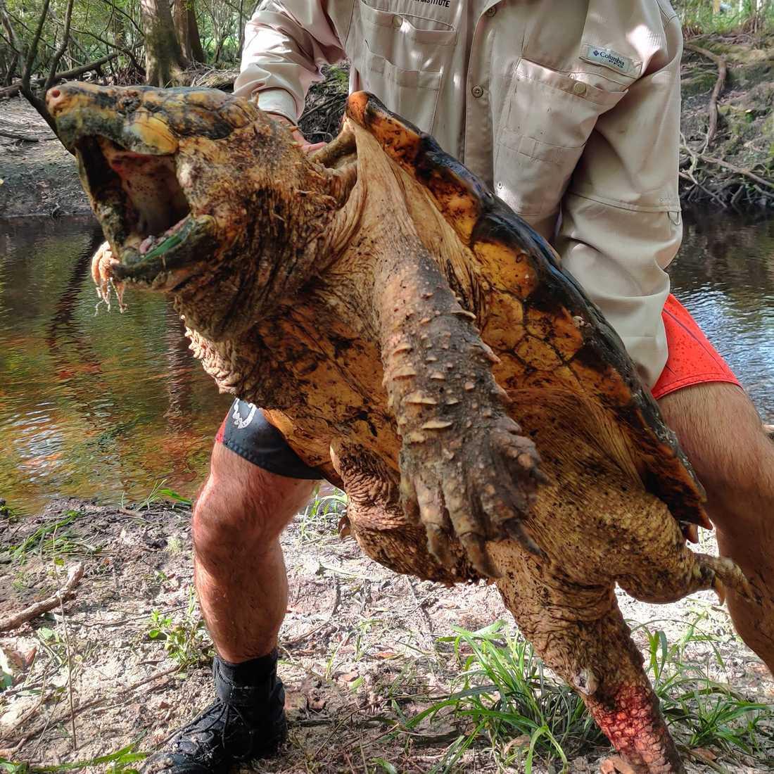 Sköldpaddans utmärkande drag är en näbbliknande mun, spetsigt skal och fjällande, tjock svans.