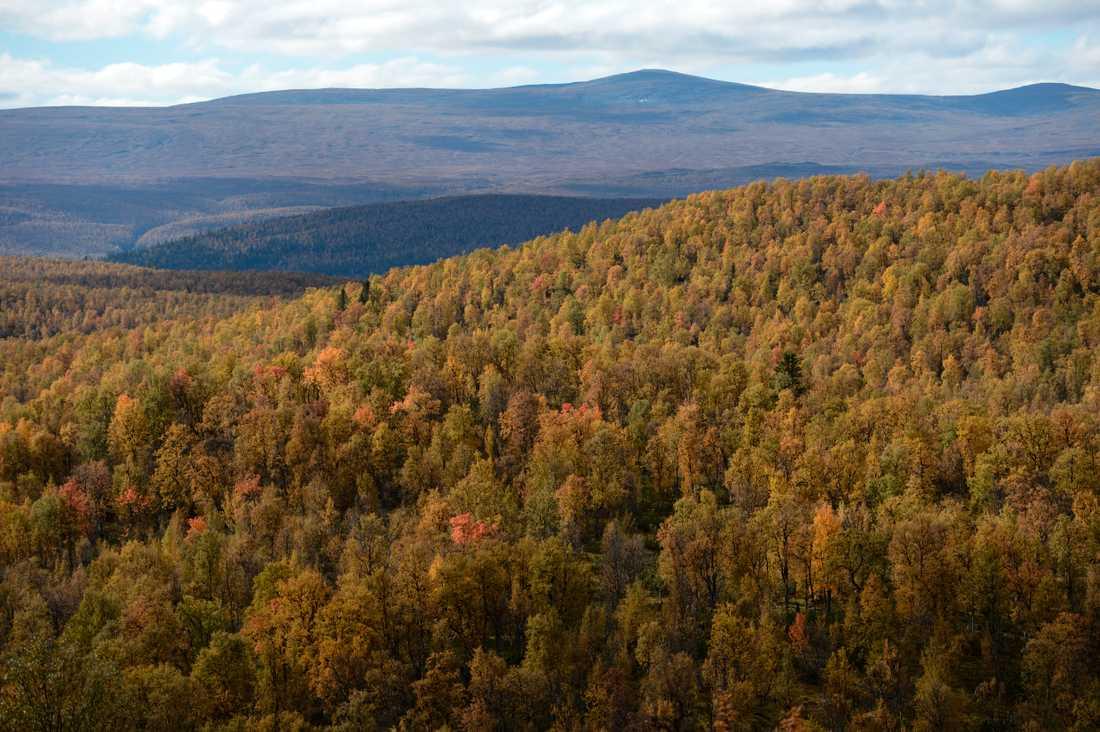 Skog nära Vindelfjällen i Lappland. Arkivbild.