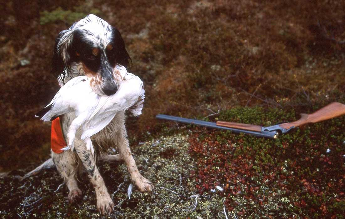 En annan fågelhund. Arkivbild.