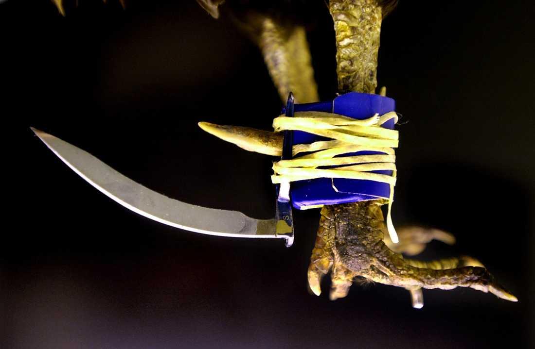 Tuppfäktning innebär blodbad. Här ett exempel på ett blad fäst på en stridstupp. Arkivbild.