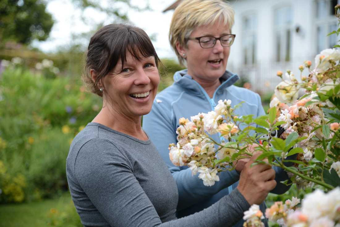 Trädgårdsmästarna Maria Nilsson och Anette Cato ansar en stor Ghislaine de Féligonde, en sorts myskroshybrid som togs fram för mer än 100 år sedan.