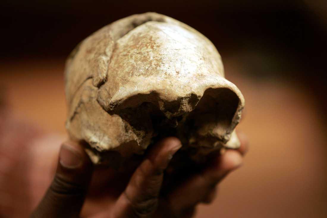 Den upprätta människan, Homo erectus, uppstod på den afrikanska kontinenten och spred sig sedan över världen, framför allt till Asien. Här syns ett nästan komplett kranium som hittades år 2000 vid Turkanasjön i Kenya.