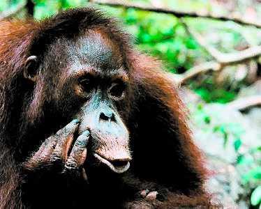Orangutangerna dör utan regnskog.