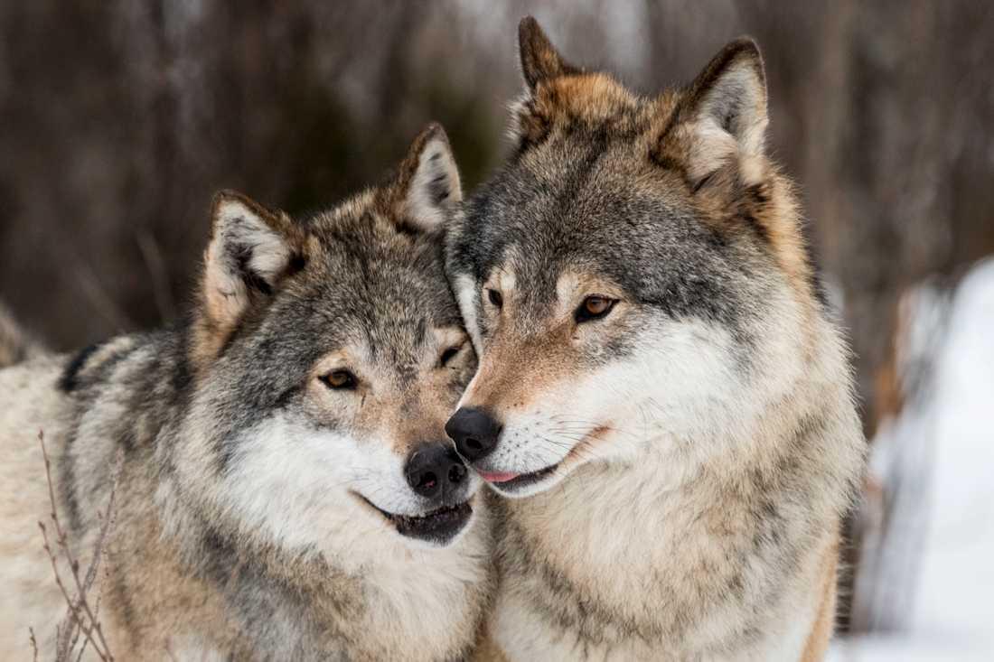 Skandinaviska vargar saknar inslag av hund men har stora genetiska likheter med vargar i Finland och Ryssland. Arkivbild.