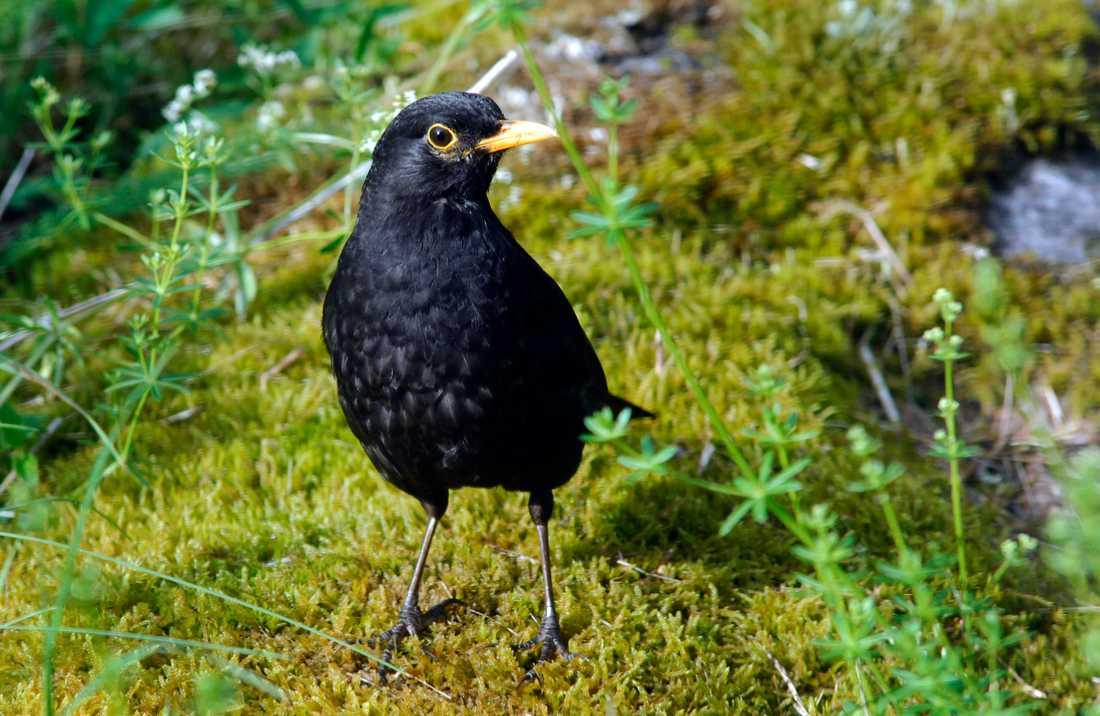 Viruset drabbar främst fåglar, men kan även smitta människor. Arkivbild.