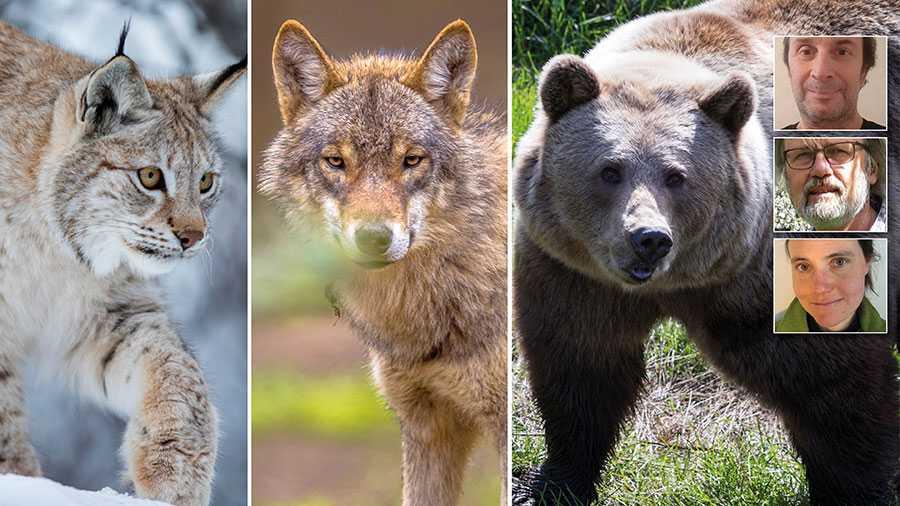 Lo, varg och björn är fridlysta. Trots det utsätts de för troféjakt där jägaren belönas med att behålla kroppsdelar för att ha ett skinn som matta, en tass eller en ram som en askkopp eller ett kranium i bokhyllan. Denna typ av jakt måste snarast förbjudas, skriver Daniel Ekblom, Per Axell, Jenny Olsson och Anders Ekholm (inte med på bilden).