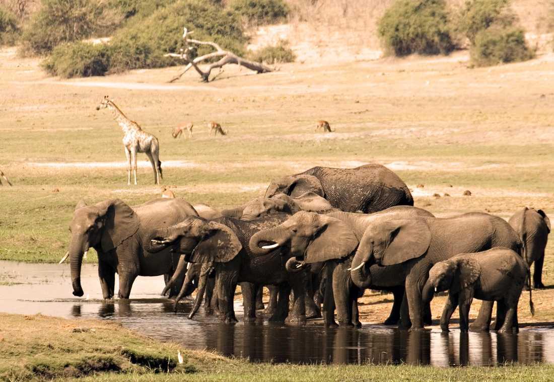 Elefanter är en vanlig syn...
