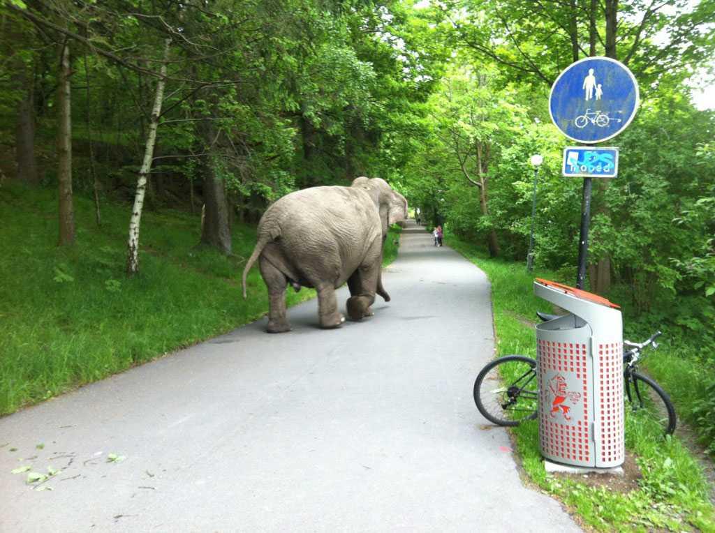 Den här elefanten håller sig till gångbanan.