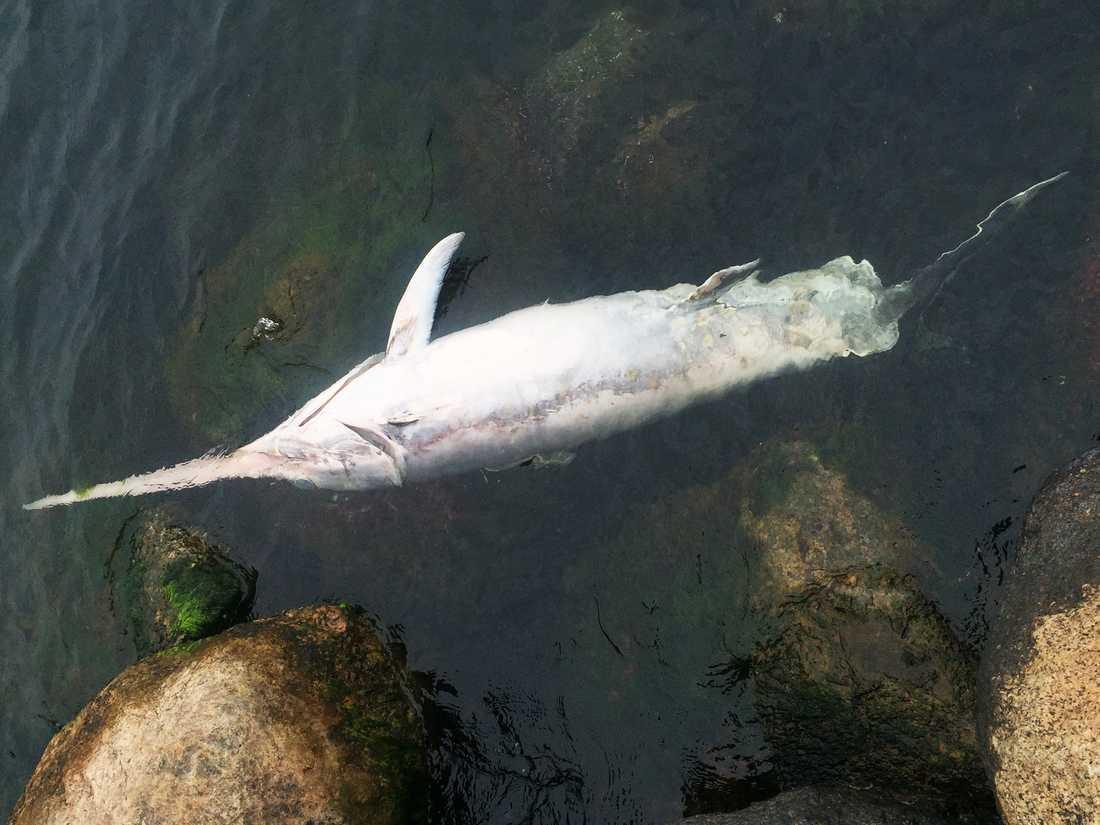Den döda svärdfisken.