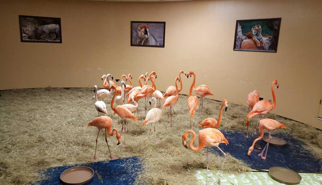 Flamingos i Florida har flyttats till säker plats.